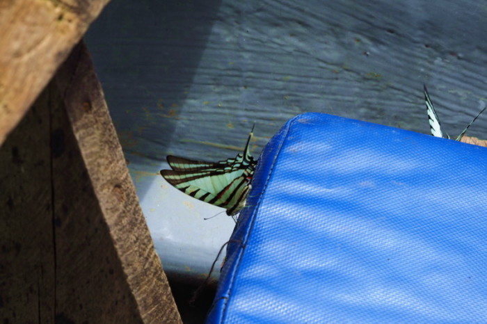 Amazon - These beautiful butterflies liked the blue seats on our boat