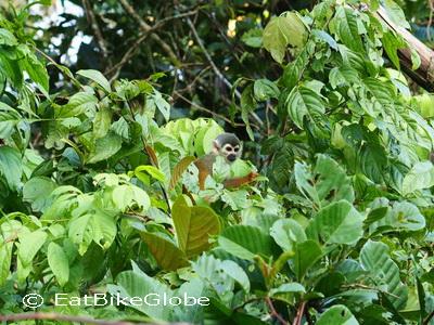 Amazon - Cute Squirrel Monkey