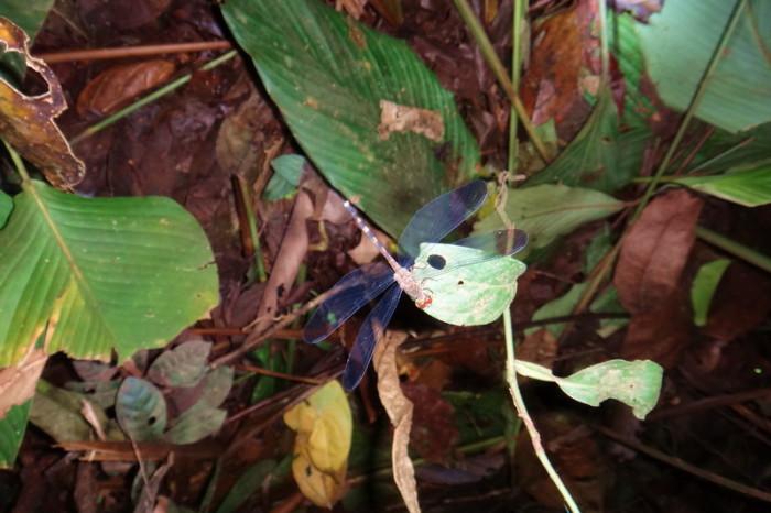 Amazon  - Dragonfly, Cuyabeno Reserve, Amazon Rainforest