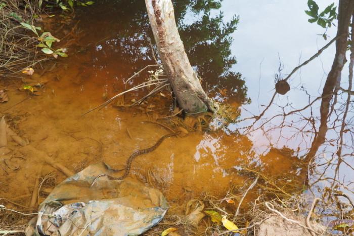 Amazon - Baby Anaconda escaping into the river