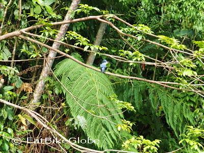 Amazon - Kingfisher, Cuyabeno Reserve, Amazon Rainforest