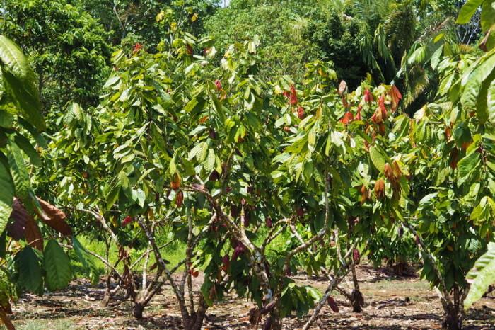 Amazon - Cocoa Plants
