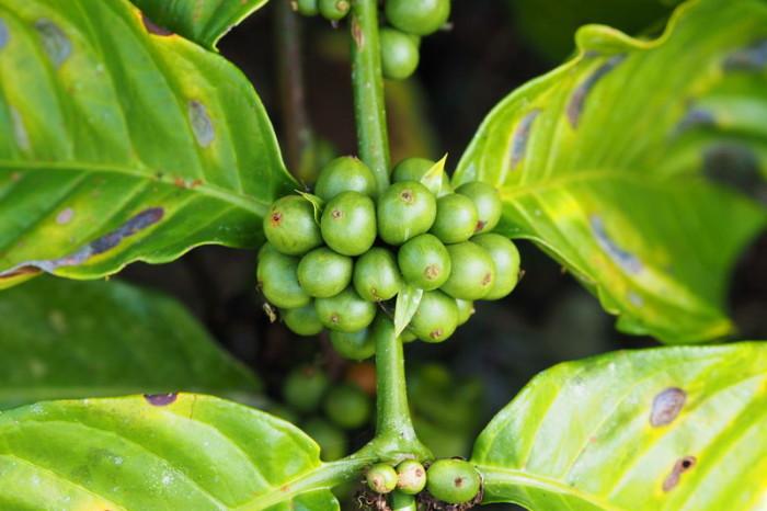 Amazon - Coffee berries