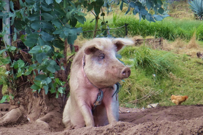 Ecuador - We saw this cute pig on the way to Santiago