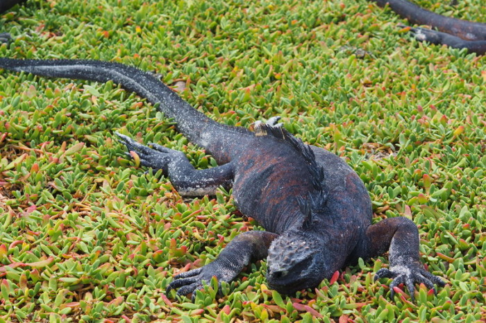 Galapagos - Marine iguana, Turtle Bay, Santa Cruz Island