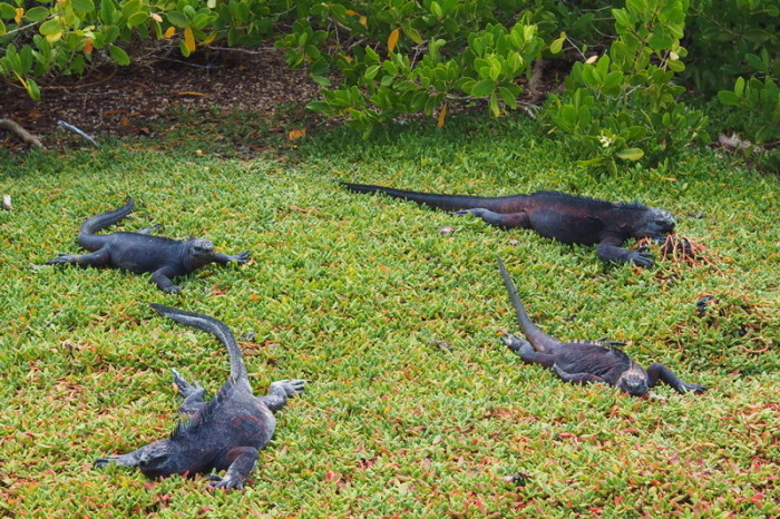 Galapagos - More marine iguanas, Turtle Bay, Santa Cruz Island