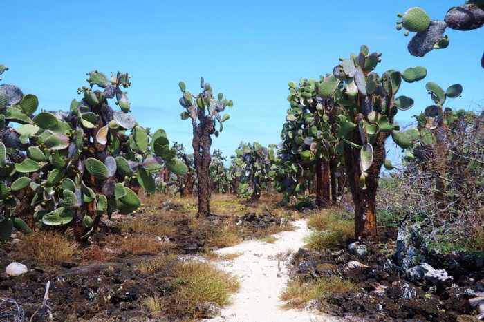 Galapagos - Forest of Opuntia echios, a cactus species endemic to the Galápagos Islands. It is commonly known as the Galápagos prickly pear, Santa Cruz Island