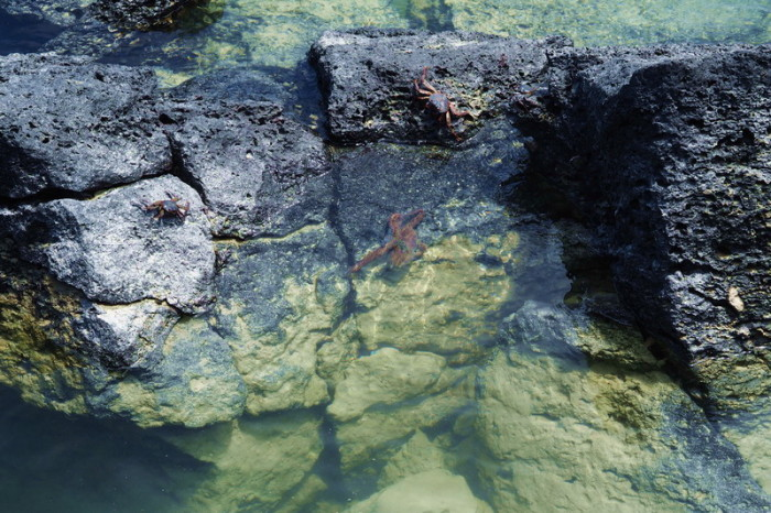 Galapagos - The octopus was very active!
