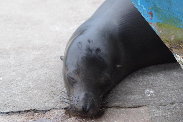 Galapagos - Sea lion!  Puerto Ayora Fish Market, Santa Cruz Island