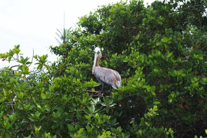 Galapagos - Pelican chilling in the trees, Puerto Ayora, Santa Cruz Island