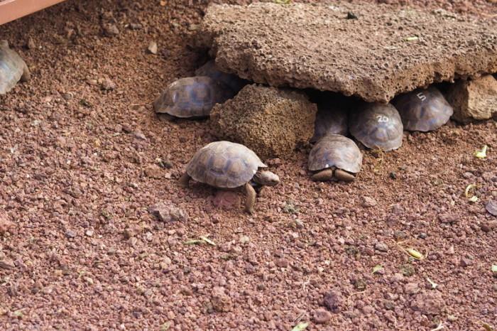 Galapagos - Visiting the Charles Darwin Research Station's Giant Tortoise Breeding Centre, Santa Cruz Island