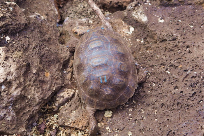 Galapagos - Visiting the Charles Darwin Research Station's Giant Tortoise Breeding Centre, Santa Cruz Island