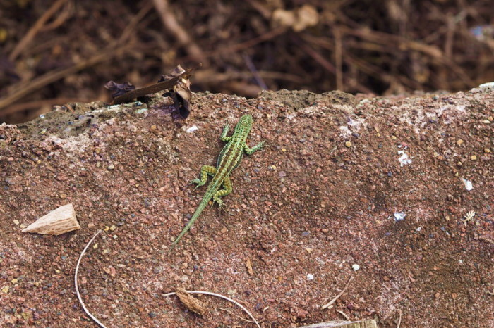 Galapagos - Cool little lizard!