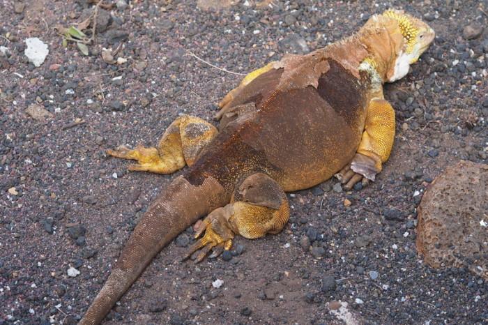Galapagos - Striking land iguana, Charles Darwin Research Centre, Santa Cruz Island