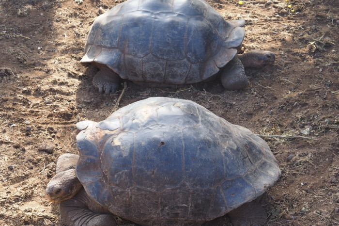 Galapagos - More Giant Tortoises, Charles Darwin Research Centre, Santa Cruz Island
