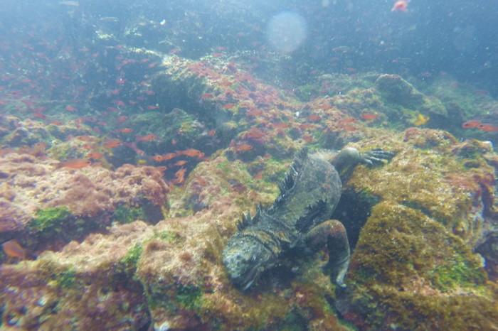 Galapagos - Unbelievably cool!! Marine iguana eating seaweed! Santiago Island