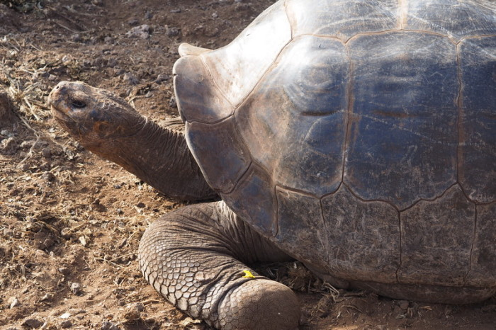Galapagos - Giant Tortoise, Charles Darwin Research Centre, Santa Cruz Island