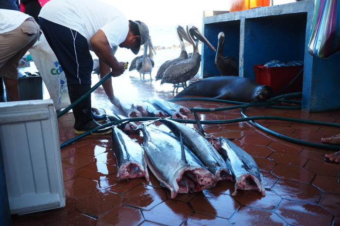 Galapagos - The Puerto Ayora Fish Market - popular with all of the residents! Santa Cruz Island
