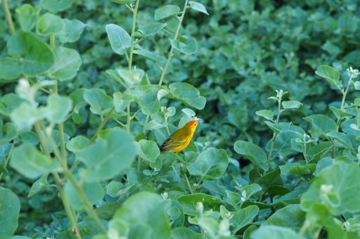 Galapagos - Brilliant yellow Darwin Finch, Puerto Ayora, Santa Cruz Island
