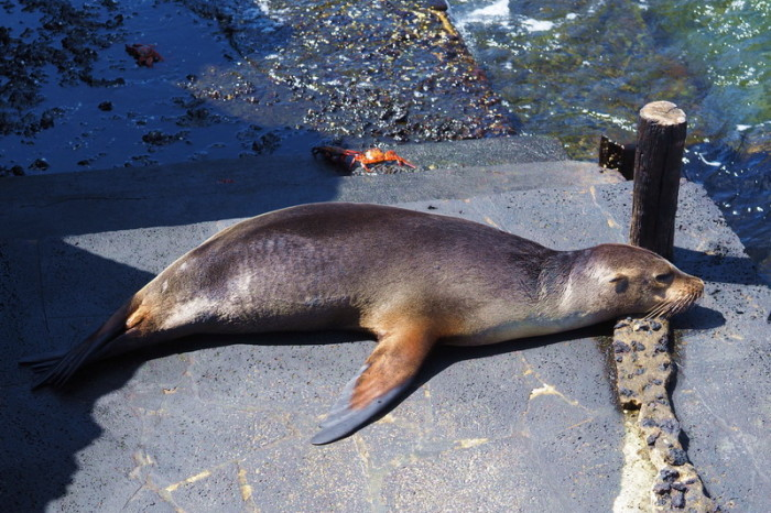Galapagos - Cheeky sea lion, Bartolome Island