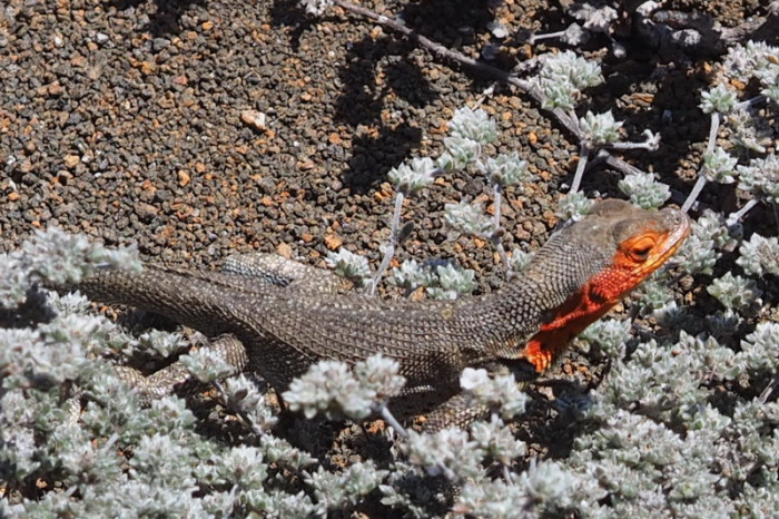 Galapagos - Lava lizard, Bartolome Island