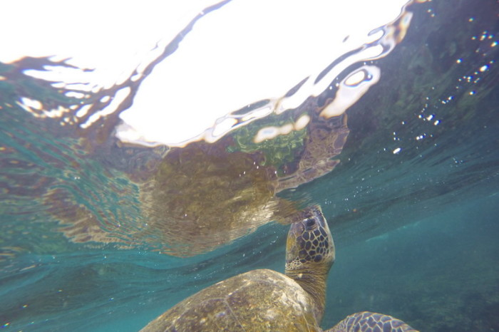 Galapagos - We loved swimming with this Galapagos Green Turtle! Santiago Island