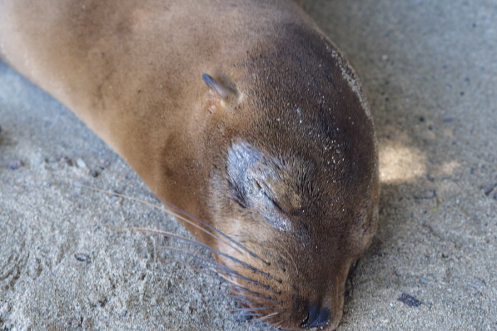 Galapagos - Sleepy sea lion, Isabela Island