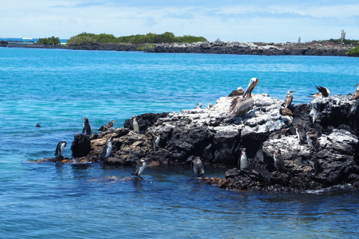 Galapagos - Galapagos penguins, pelicans and blue footed boobies!