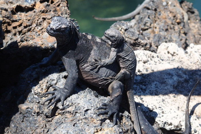Galapagos - Marine iguanas enjoying the sun, Tintoreras, Isabela Island