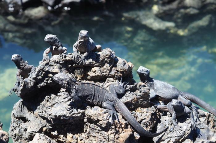 Galapagos - Marine iguanas enjoying the sun, Tintoreras, Isabela Island