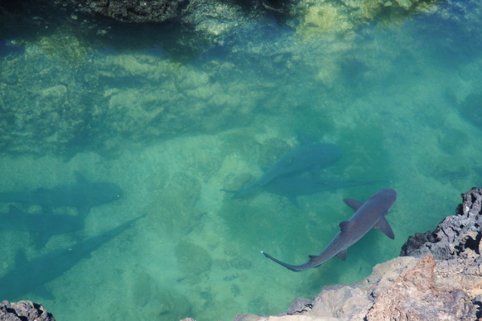 Galapagos - White Tipped Reef Sharks - there were at least 20 in this little channel!