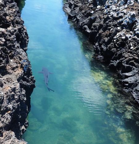 Galapagos - White Tipped Reef Sharks, Tintoreras, Isabela Island