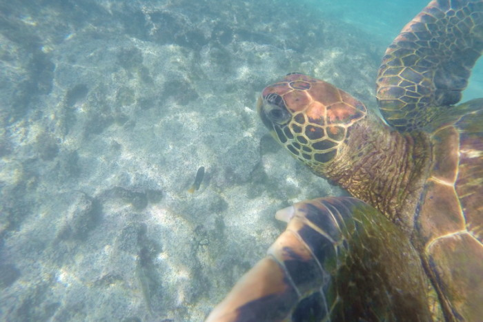 Galapagos - Another green turtle! Tintoreras, Isabela Island