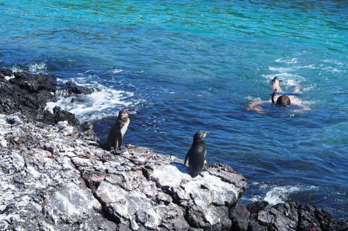 Galapagos - We swam with penguins! Tintoreras, Isabela Island