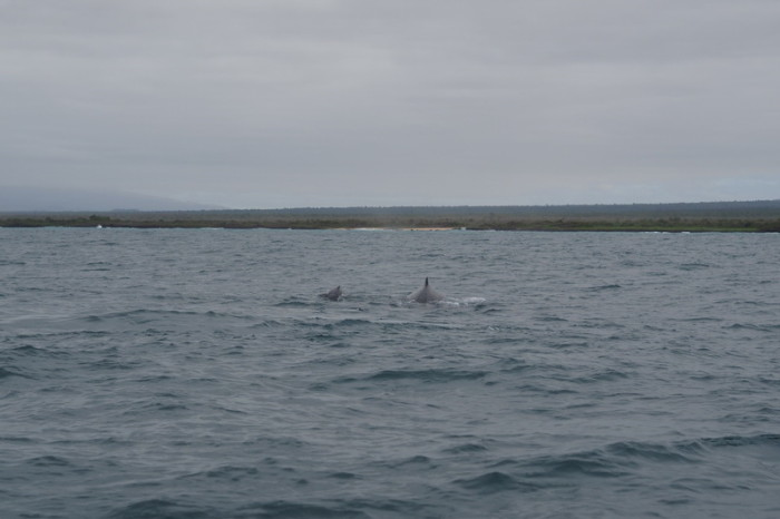 Galapagos - A lovely sight - mother and baby humpback whales swimming together! Isabela Island