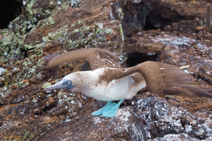Galapagos - Blue footed boobie, Lava Tunnels, Isabela Island
