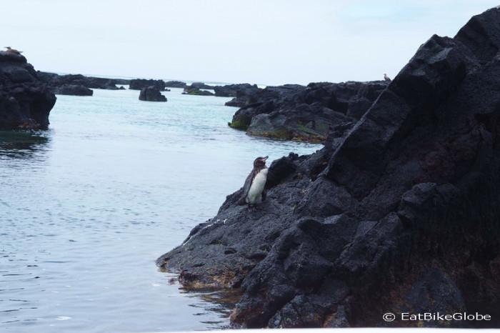 "Galapagos - Penguin, The ""Lava Tunnels"",  Isabela Island"