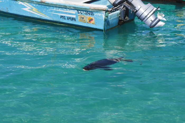 Galapagos - A sea lion swimming, Puerto Villamil, Isabela Island