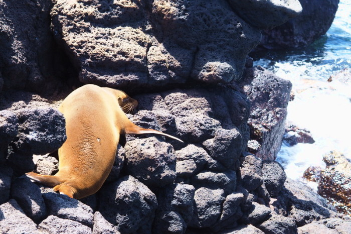 Galapagos - Sea lion, North Seymour Island