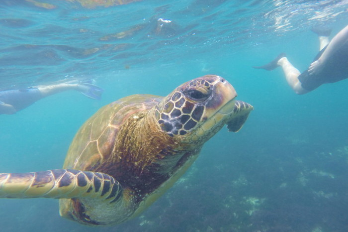 Galapagos - Wow - we swam with this gorgeous Galapagos Green Turtle! The Lava Tunnels, Isabela Island