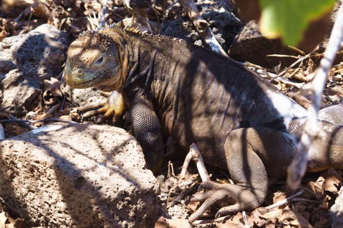 Galapagos - Land iguana, North Seymour Island