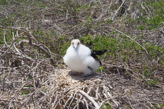 Galapagos - Super cute baby Frigate bird! North Seymour Island