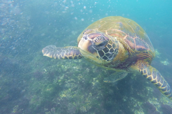 Wow - we swam with this gorgeous Galapagos Green Turtle! The Lava Tunnels, Isabela Island
