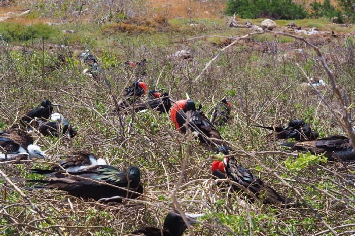 Galapagos - Frigate birds! North Seymour Island