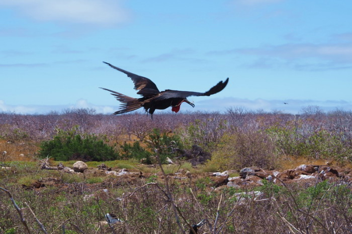 Galapagos - Flying Frigate bird! North Seymour Island