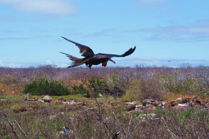 Galapagos - Flying Frigate bird! North Seymour Island