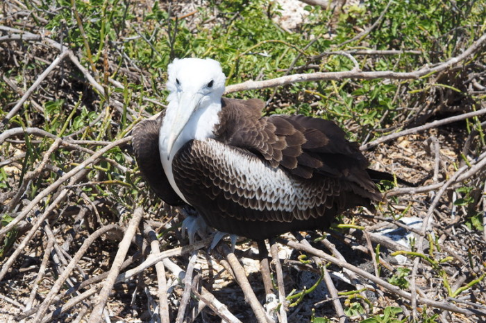 OLYMPUS DIGITAL CAMERA - Adolescent frigate bird, North Seymour Island