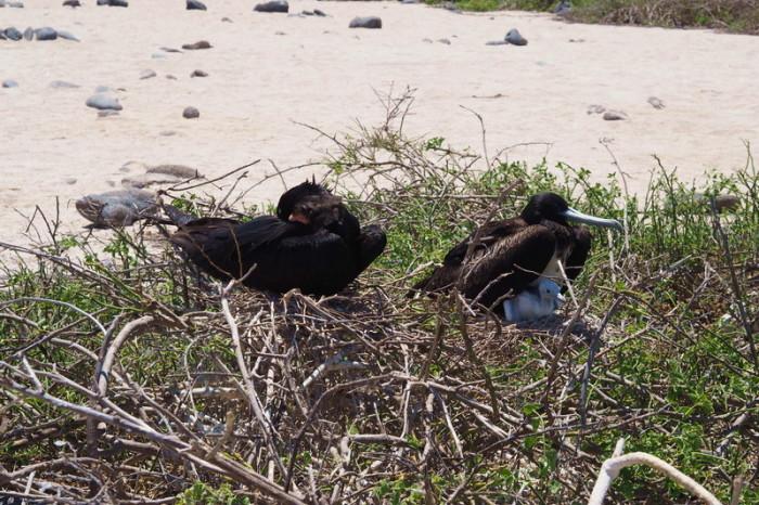 OLYMPUS DIGITAL CAMERA - Baby frigate bird, North Seymour Island