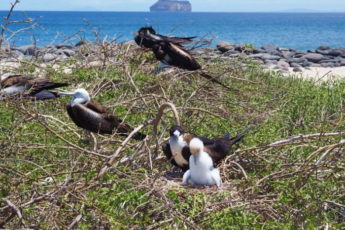 OLYMPUS DIGITAL CAMERA - Baby and adolescent frigate birds — at North Seymour Island, Galapagos