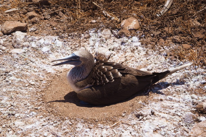 OLYMPUS DIGITAL CAMERA - Nesting blue footed boobie, North Seymour Island